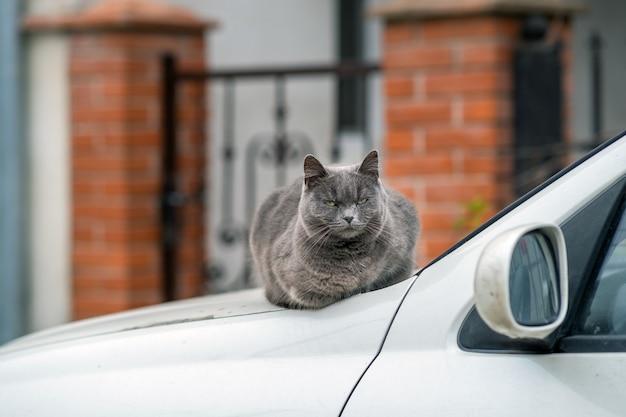 Retrato do close up do gato peludo cinzento sério.