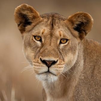 Retrato do close-up do parque nacional serengeti, serengeti, tanzânia, áfrica