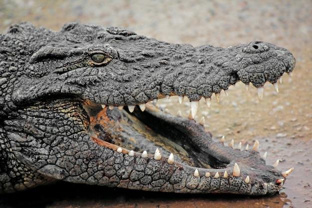 Retrato do crocodilo do nilo com mandíbulas abertas