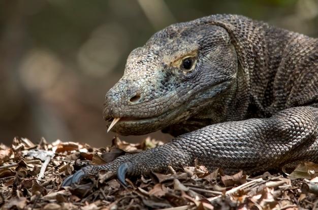 Retrato do dragão de komodo. ilha de komodo. indonésia