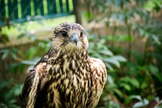 Retrato do falcão close-up.