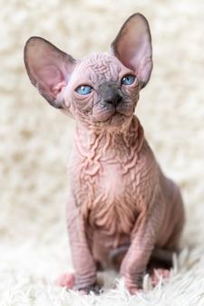 Retrato do gatinho canadian sphynx cat com grandes olhos azuis sentado no fundo do tapete branco