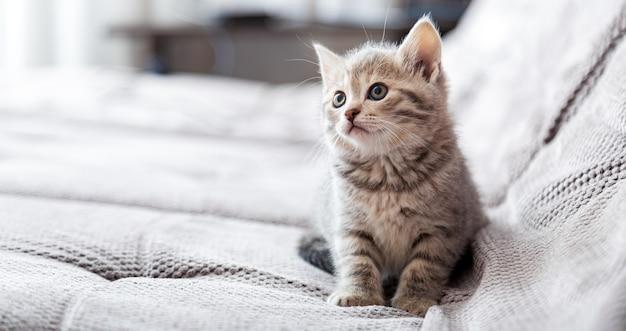 Retrato do gatinho. gato sentado no sofá cinza, olhando de lado no espaço da cópia. o descanso do gato relaxa na cama. animal de estimação sentado em uma casa confortável e aconchegante. banner longo da web com espaço de cópia.