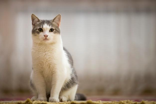 Retrato do gato branco e cinzento agradável com os olhos verdes que sentam-se ao ar livre, olhando diretamente para cima no espaço ensolarado claro claro borrado.