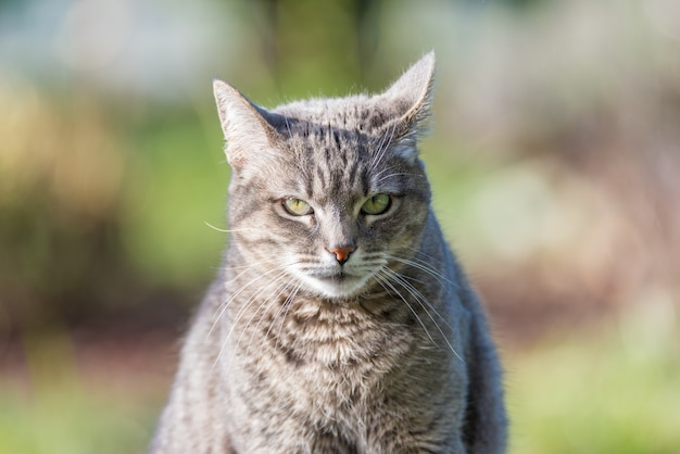 Retrato do gato de cabelo cinzento com olhos verdes.