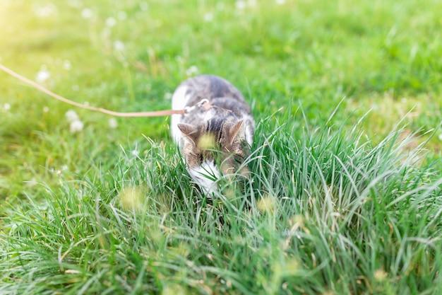 Retrato do gato de gato malhado doméstico masculino novo bonito, chicote de fios vestindo, andando na trela ao ar livre no parque no gramado, comendo a grama verde. conceito de saúde e segurança de animais de estimação, cópia espaço