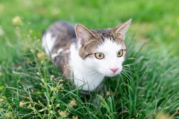 Retrato do gato de gato malhado doméstico masculino novo bonito, chicote de fios vestindo, andando na trela ao ar livre no parque no gramado na grama verde. conceito de saúde e segurança de animais de estimação, close-up, copie o espaço