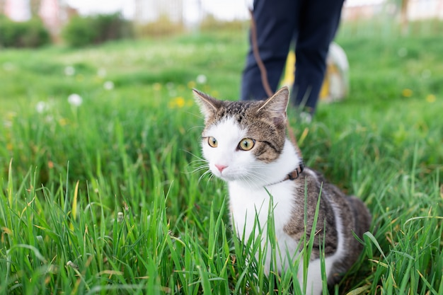 Retrato do gato de gato malhado doméstico masculino novo bonito, chicote de fios vestindo, andando na trela ao ar livre no parque no gramado na grama verde. conceito de saúde e segurança de animais de estimação, cópia espaço