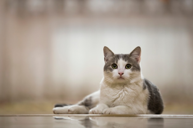 Retrato do gato doméstico branco e cinzento agradável com os olhos verdes redondos grandes que colocam relaxado fora no conceito ensolarado claro borrado do mundo animal.