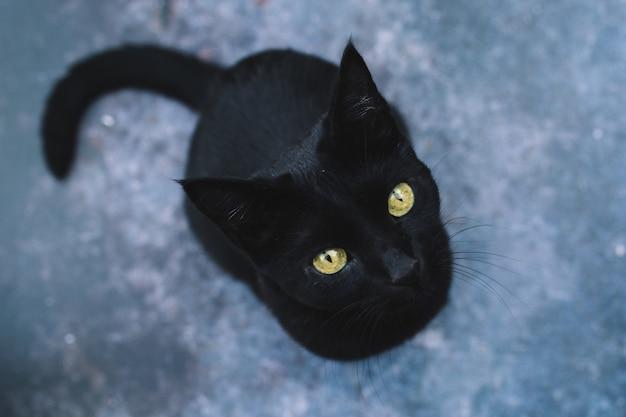 Retrato do gato preto brincalhão e curioso com olhos amarelos na obscuridade isolada. dia das bruxas . vista do topo.