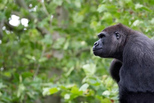 Retrato do gorila