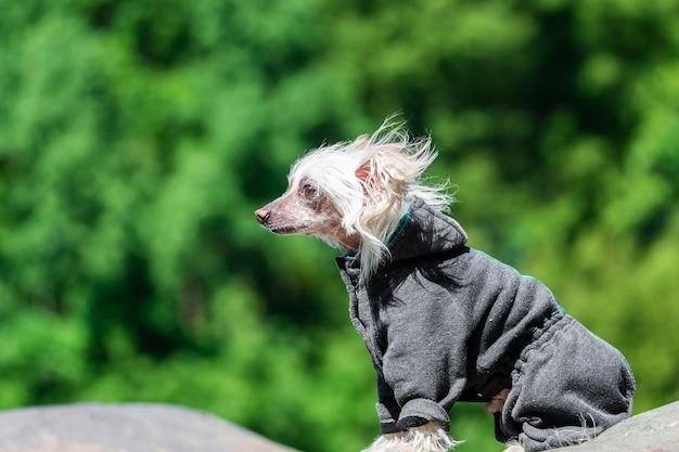 Retrato do incrível cão de crista chinês no verão