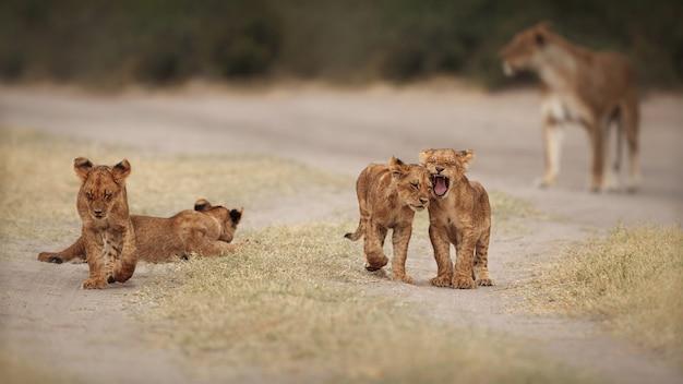 Retrato do leão africano na luz quente