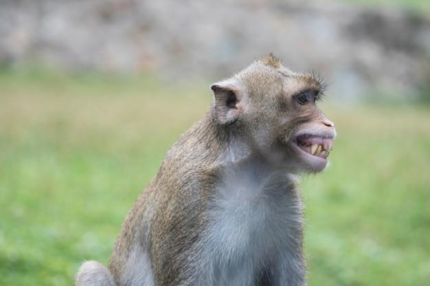 Retrato do macaco de sorriso e de riso em tailândia. macaco bonito e engraçado, sentado no campo de grama verde. macaco bem-humorado. macaque de bom humor. macaco sorriu ao ver os dentes.