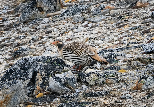Retrato do pássaro tibetano do snowcock no pico de kala patthar. nepal