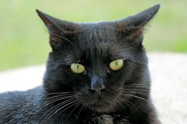 Retrato do perfil de um lindo gato preto na ilha de páscoa, chile, américa do sul