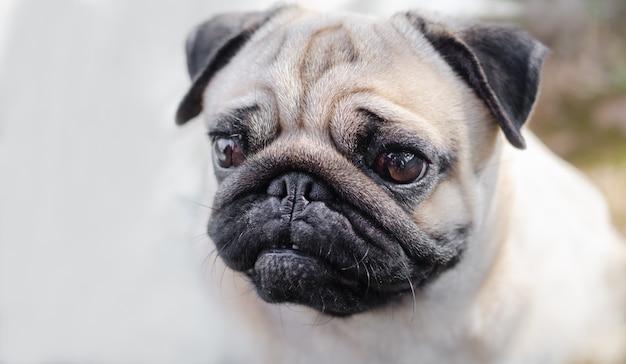 Retrato do rosto masculino bonito da emoção do cão feliz do pug.