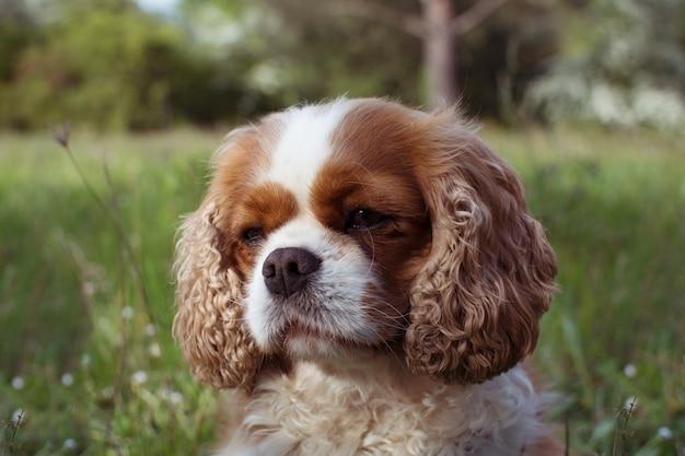 Retrato doce cavalier rei charles cão againt defocusado grama verde.