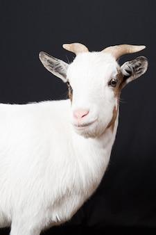 Retrato doméstico de cabra branca