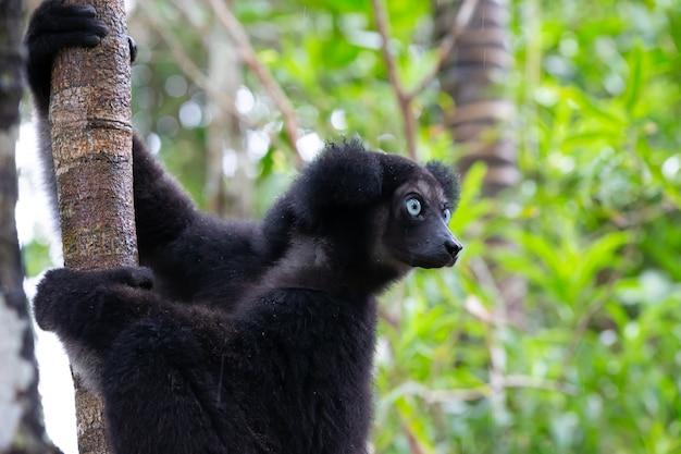 Retrato dos lêmures indri em uma floresta tropical em madagascar