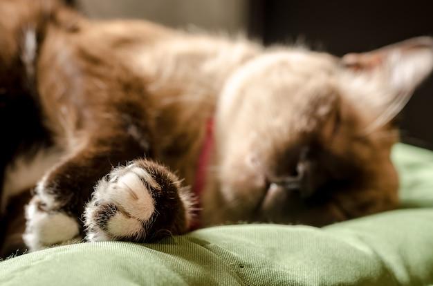 Retrato em casa cinza gato descansando em um sofá