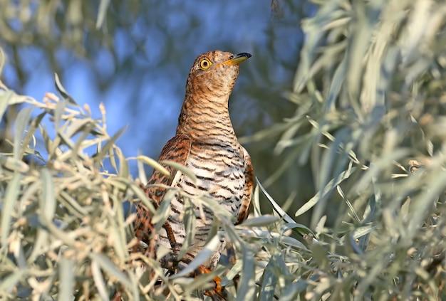 Retrato em close-up de uma metamorfose vermelha incomum de cuco fêmea nas folhas de uma árvore