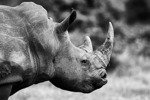 Retrato em escala de cinza de um rinoceronte magnífico