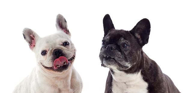 Retrato, em, estúdio, de, cute, bulldogs