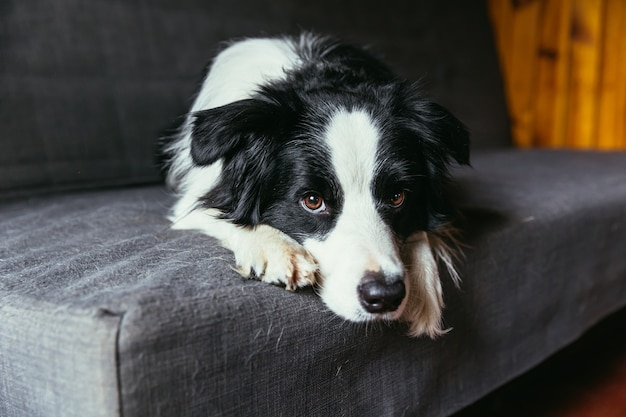Retrato engraçado de cachorro sorridente fofo cão border collie no sofá dentro de casa. novo adorável membro da família cachorrinho em casa