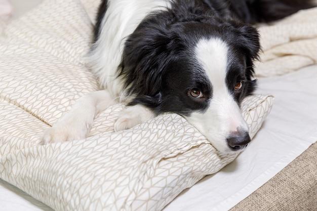 Retrato engraçado de cãozinho sorridente fofo border collie deitado no travesseiro cobertor na cama.