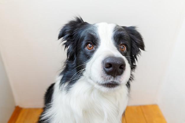 Retrato engraçado de cãozinho sorridente fofo cão border collie interior.