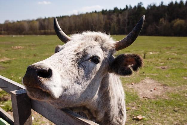 Retrato engraçado de vaca branca na fazenda