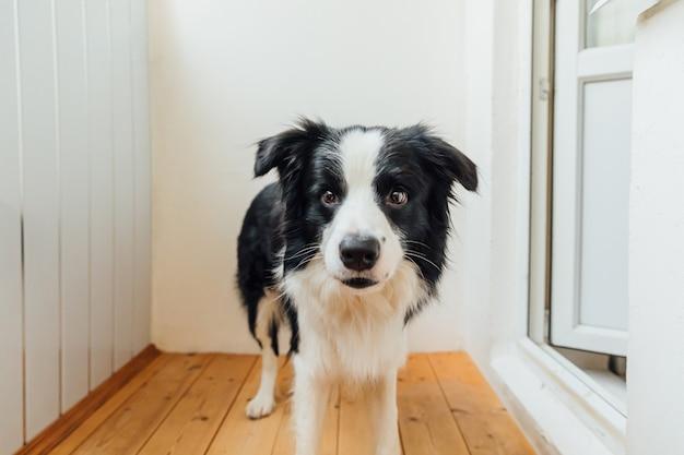 Retrato engraçado do cachorrinho sorridente e fofo border collie em casa brincando com o dono