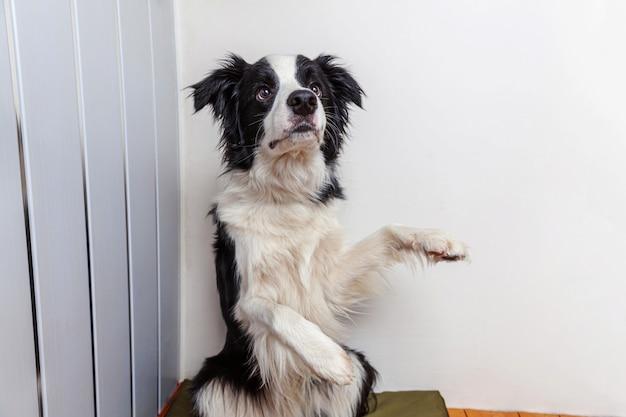 Retrato engraçado do cão de cachorrinho de sorriso bonito border collie interno. novo membro adorável da família cachorrinho em casa olhando e esperando por recompensa.
