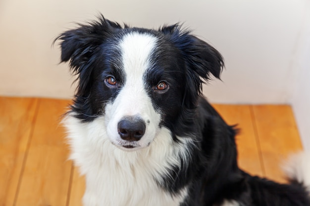 Retrato engraçado do cão de cachorrinho smilling bonito border collie interno. novo membro adorável da família cachorrinho em casa olhando e esperando por recompensa. conceito de vida de animais de estimação engraçado.