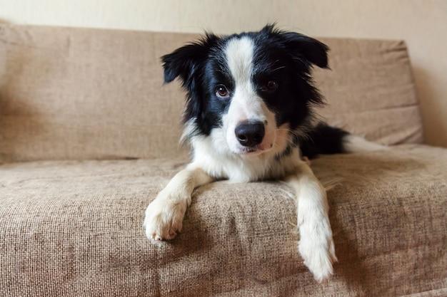 Retrato engraçado do cão de cachorrinho smilling bonito border collie no sofá. novo membro adorável da família cachorrinho em casa olhando e esperando por recompensa. conceito de cuidados e animais de estimação.