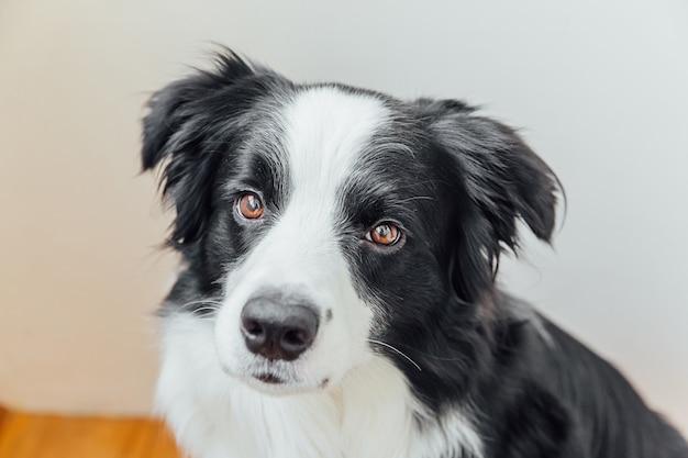 Retrato engraçado do cãozinho sorridente e fofo border collie interior