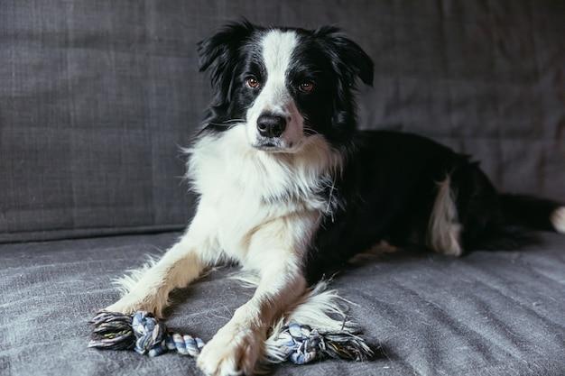 Retrato engraçado do cãozinho sorridente e fofo border collie no sofá dentro de casa
