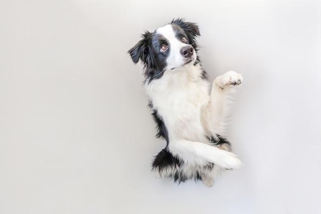 Retrato engraçado do estúdio do cão de cachorrinho de sorriso bonito border collie isolado no fundo branco.