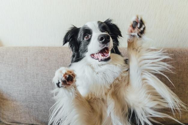 Retrato engraçado do filhote de cachorro fofo border collie no sofá, brincando em casa dentro de casa
