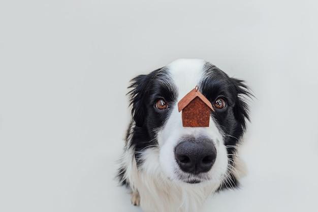 Retrato engraçado do filhote de cachorro fofo border collie segurando uma casa modelo de brinquedo em miniatura no nariz, isolada no branco