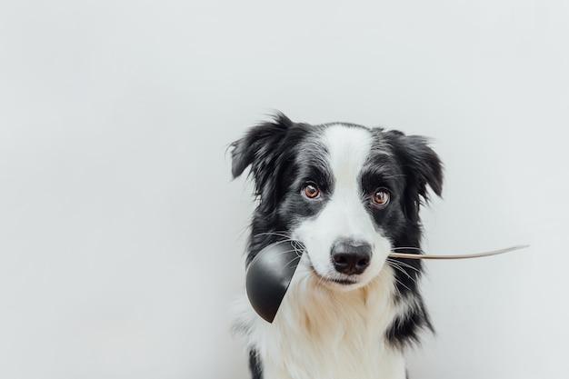 Retrato engraçado do filhote de cachorro fofo border collie segurando uma concha de colher de cozinha na boca isolado no branco