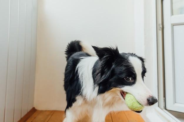Retrato engraçado do filhote de cachorro sorridente fofo border collie segurando uma bola de brinquedo na boca