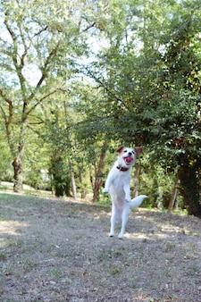 Retrato feliz jack russell dog jumping com uma expressão de cara silly na floresta.