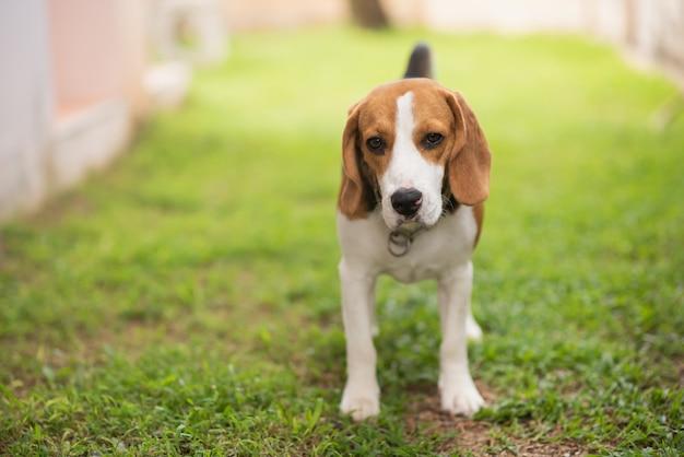 Retrato, filhote cachorro, beagle, ficar, ligado, a, grama verde