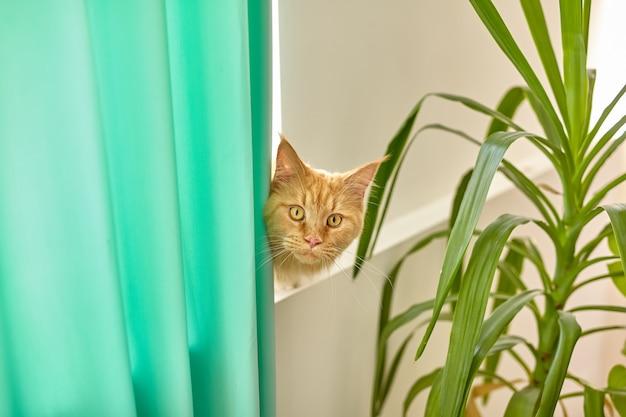 Retrato horizontal de um gato maine coon vermelho com olhos amarelos olhando por trás de uma cortina verde