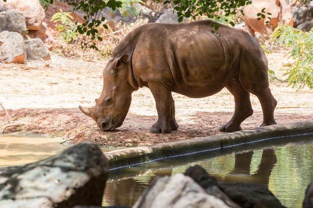 Retrato imagem rinoceronte branco no jardim zoológico de nakhon ratchasima