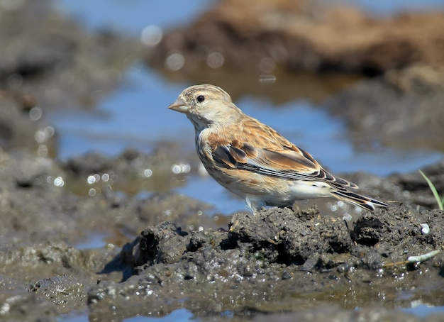 Retrato incomum de uma fêmea de linnet comum (linaria cannabina) com fundo e água azul a foto pode ser usada para o especificador de campo de pássaros e para guiar pássaros.