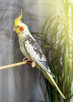 Retrato interno de um papagaio corella sentado em uma vara de madeira. conceito de animais de estimação