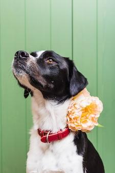 Retrato isolado de um lindo cão preto e branco, vestindo uma flor em estúdio com fundo verde de madeira